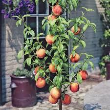 Orange Tree Container Gardening U2013 Best Orange Trees For PotsPots For Fruit Trees