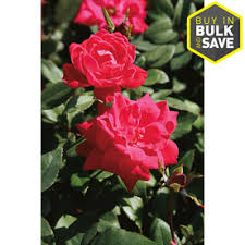 display reviews for 2 gallon in pot red double knock out rose lw02389
