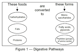 digestion absorption and metabolism