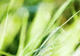 grass blade close up. Dew On Blades Of Grass, Extreme Close-up Grass Blade Close Up S