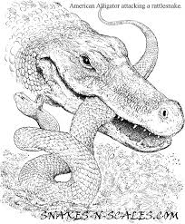 Small Picture American Alligator Coloring Page Snakes N Scales Snakes N Scales