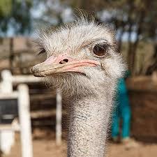ostrich show farm chandelier