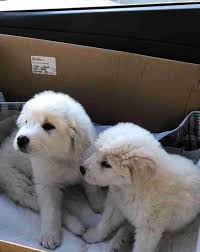 great pyrenees puppies in box