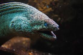 The zebra moray eel has close set teeth which it uses to crush its prey. Types Of Eels 8 Of The Best Freshwater And Saltwater Eels