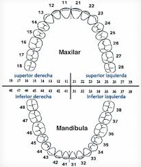 Adult Spanish Tooth Chart Whatcom Alliance For Health