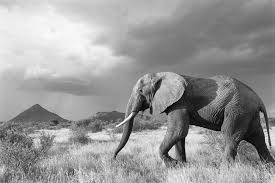 black and white animal photography. Fine And African Elephant On The Move In Storm Light Samburu National Reserve Kenya Intended Black And White Animal Photography 8
