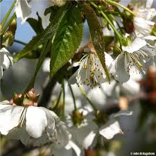 Black Tartarian Cherry Tree On The Tree Guide At Arborday Org