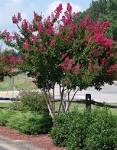 Images & Illustrations of crape myrtle