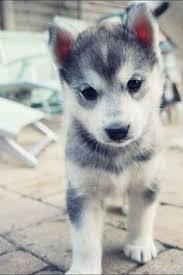 baby husky puppies tumblr. Plain Husky Husky Puppy  Via Tumblr With Baby Husky Puppies S