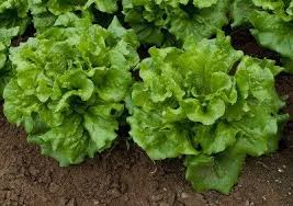 Lettuce Types Chart Lettuce Varieties Learn About The Different Types Of Lettuce