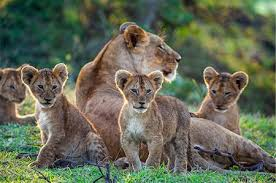 lion lioness and they cubs stock photos