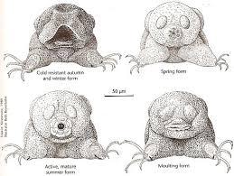 tardigrade actual size bogleech
