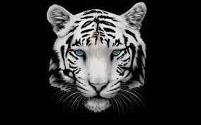 tiger wallpaper high resolution.  Resolution White Tiger Wallpaper High Definition To Resolution S