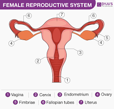 The reproductive system is a collection of internal and external organs — in both males and females — that work together for the purpose of procreating, according to the cleveland clinic. Female Reproductive System Overview Anatomy And Physiology