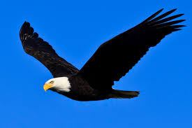Bald Eagle Age Chart Bald Eagle Channel Islands National Park U S National