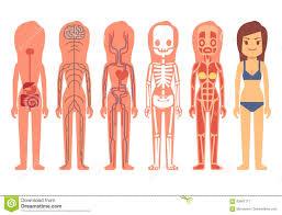 Medical Woman Body Anatomy Vector Illustration Skeleton