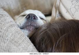 office sleeping pillow. sweet cute labrador puppy dog sleeping on the couch in his bed withe nose office pillow