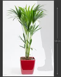 Office pot plants Gardening Pony Tail Palm Kentia Palm Crocus Office Plants Improving The Working Enviroment Easy Maintenance
