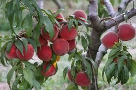 Zanthoxylum PricklyashFruit Trees That Grow In Nc