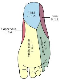 Lateral Plantar Nerve Wikipedia