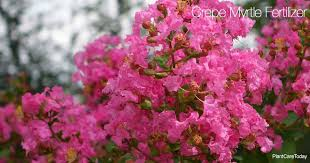Crape Myrtle Colors Chart When And How To Fertilize Crepe Myrtles