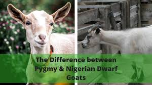 Nigerian Dwarf Goats Vs Pygmy Goats Whats The Difference