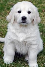 white golden retriever puppies for sale. White Golden Retriever Puppies For Sale Cute Throughout