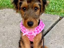 Birdie, welsh terrier - Dog Photo Contest