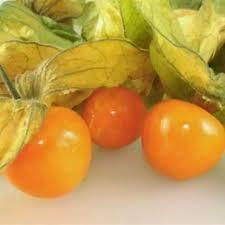 Hạt giống quả Thù Lù Nam Mỹ   Lazada.vn