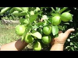 Aparecida, árvores que produzem frutas cítricas, como laranja, limão ou mexerica, não precisam de podas, segundo observa o engenheiro agrônomo josé dagoberto de negri, do centro de citricultura sylvio moreira, do instituto agronômico de&nbs. Pin On Huerto