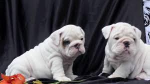 white english bulldog. Plain English White English Bulldog Puppies For Sale On Bulldog YouTube
