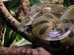 Змея анаконда описание доклад информация сообщение длина размеры  Змея анаконды лат eunectes murinus изображение
