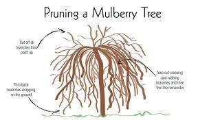How To Grow Gorgeous Mulberry Trees  Gardeneru0027s PathMulberry Tree No Fruit