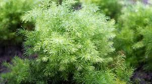 tincture powdered herbs