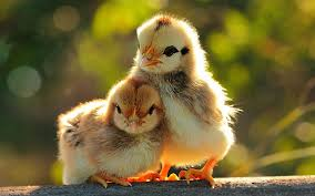 Image result for funny chicken pictures