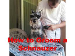 how to groom a miniature schnauzer