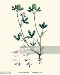 Natural History Flora Trifolium Maritimum High-Res Vector Graphic ...