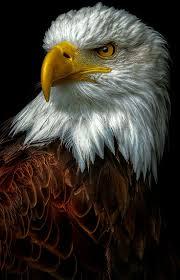 Best 25 Bald look ideas on Pinterest Eagles Eagle and Eagle bird