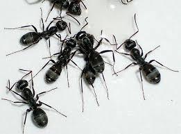Песчаный муравей песчаный муравей formica cinerea  Песчаный муравей formica cinerea фото насекомые фотография