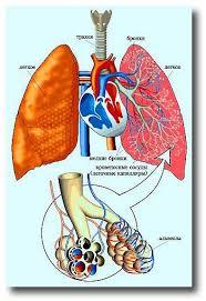 successor органы дыхания человека фото Реферат Дыхательная система человека Органы дыхания