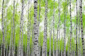 ... FW78666790_Birch-trees-with-foliage-2P- ...