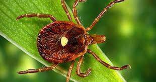 Red meat allergy transmitted by lone star ticks on the rise - CBS News