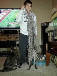 ty with his f2 savannah kitten