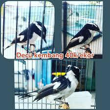 Burung decu atau tledekan terdapat beberapa macamnya. Luwakindonesia Instagram Posts Photos And Videos Picuki Com