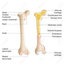 Human Bone Chart Vector Illustration Of Diagram Of Human Bone Anatomy