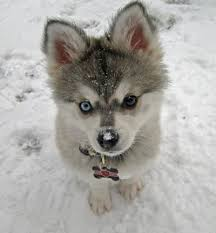 baby husky puppies tumblr. Modren Husky Dogs Images Husky Puppies Wallpaper And Background Photos On Baby Puppies Tumblr