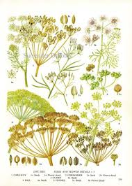 Herb And Spice Wall Chart Dill Cumin Fennel Coriander Spice Herb Chart Plant Flowers