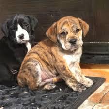 american bulldog golden retriever mix. ENGLISH BULLDOGGOLDEN RETRIEVER MIX On American Bulldog Golden Retriever Mix