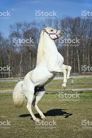 white horse rearing. Unique Horse White Horse Rearing Up Arabian Stallion In Motion Royaltyfree Stock Photo Intended I