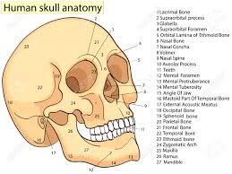 Medical Education Chart Of Biology Human Skull Diagram Raster